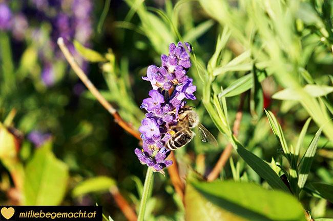 Lavendelblüten im Garten - auch die Bienen lieben sie