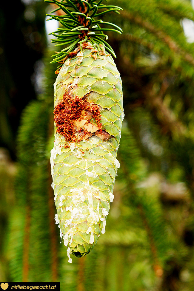 grüne, harzige Zapfen