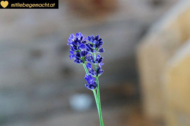 intensiv duftende Lavendelblüten