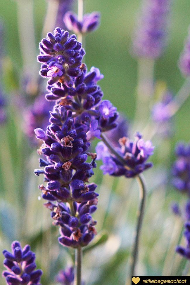 Lavendel in meinem Garten