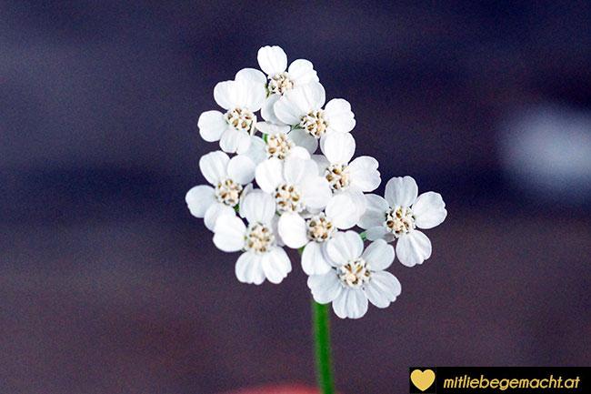 Schafgarbenblüten