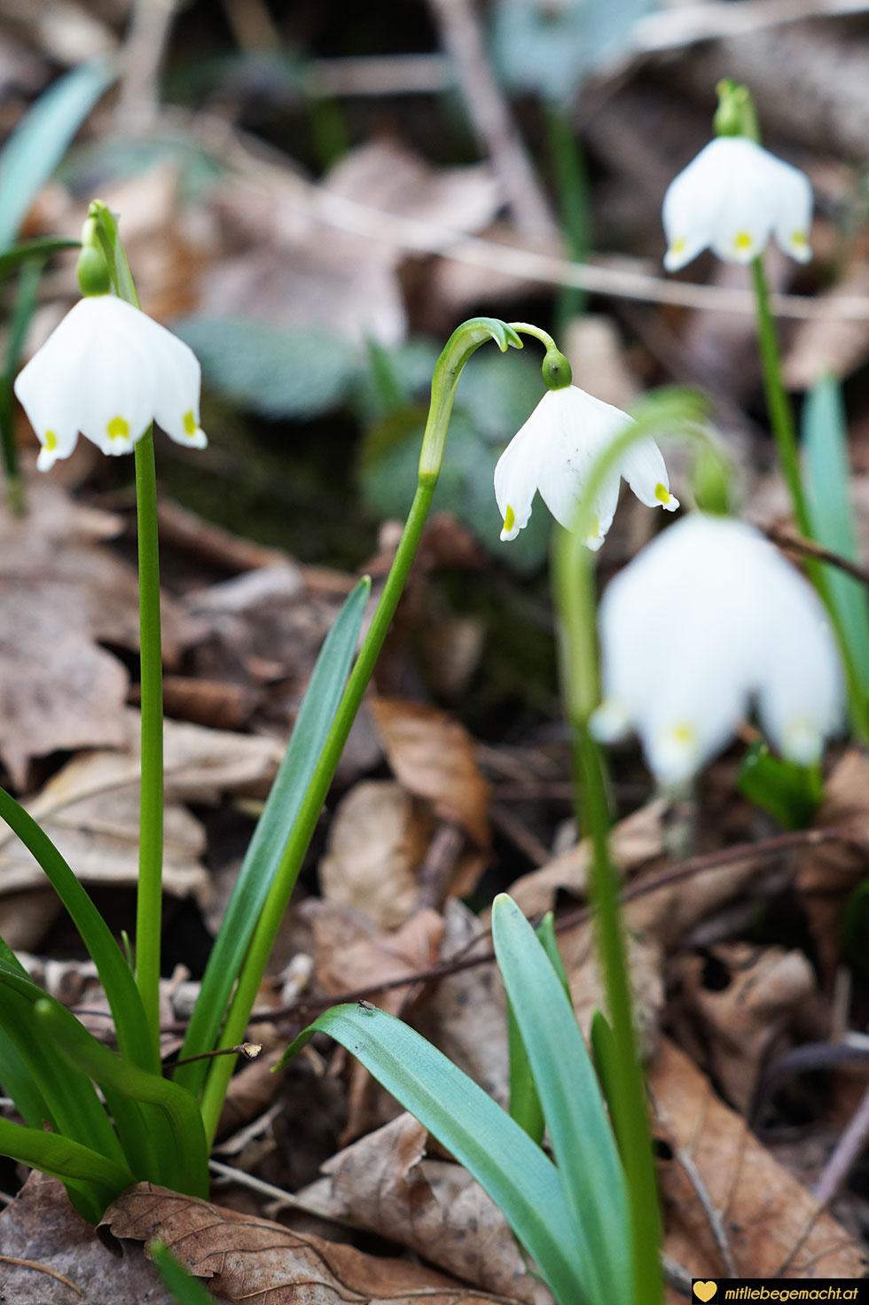 Bald werden die ersten Blumen sich den Weg durch Schnee bahnen