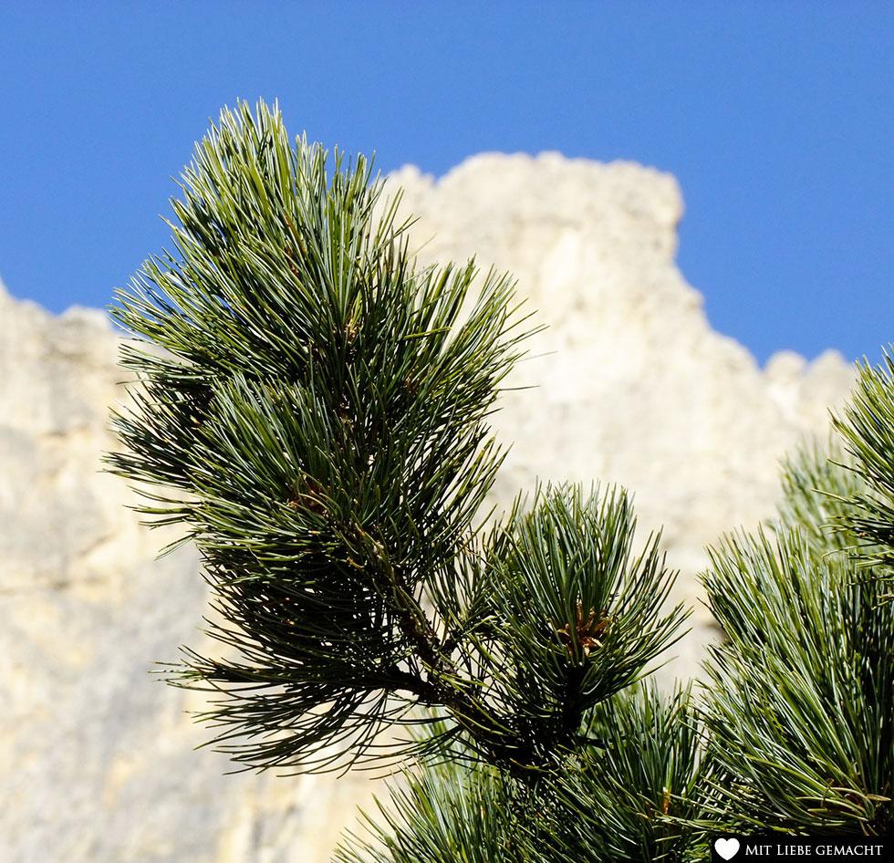 die Zirbe - ein widerstandsfähiger Baum