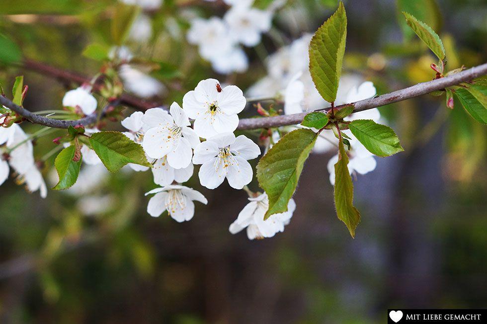 Kirschblüten haben eine desodorierende Wirkung