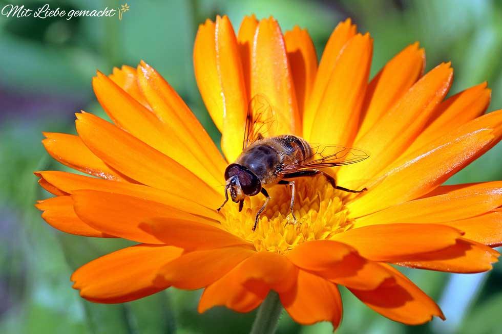 Ringelblumen blühen bis lange in den Herbst hinein