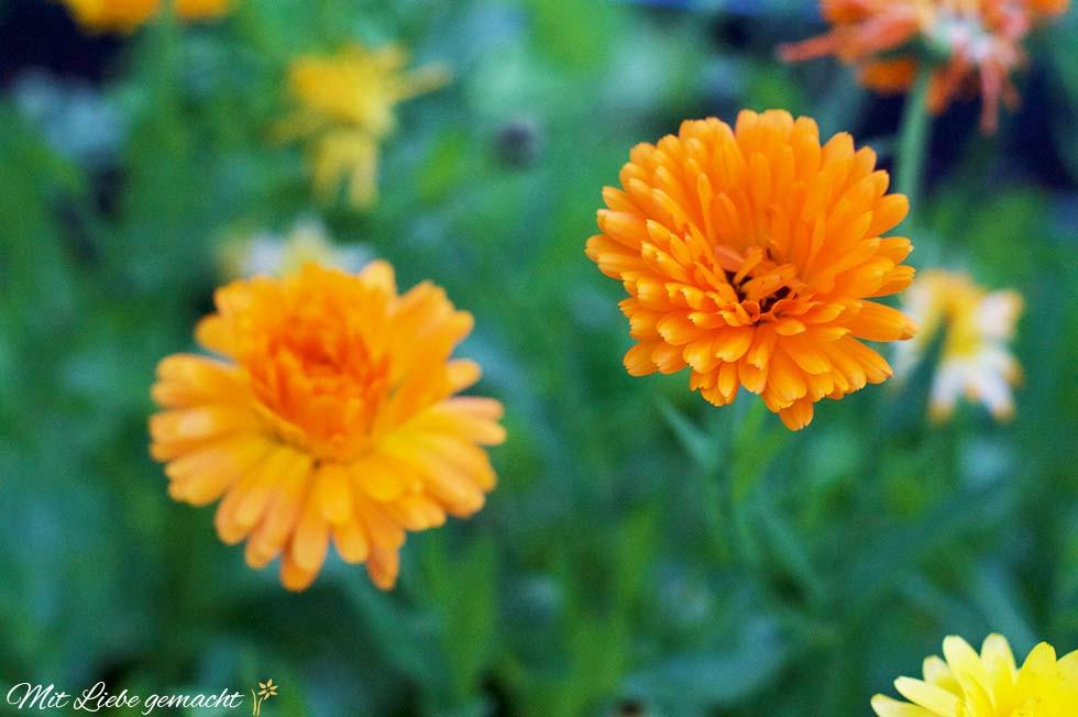 leuchtende Ringelblumen
