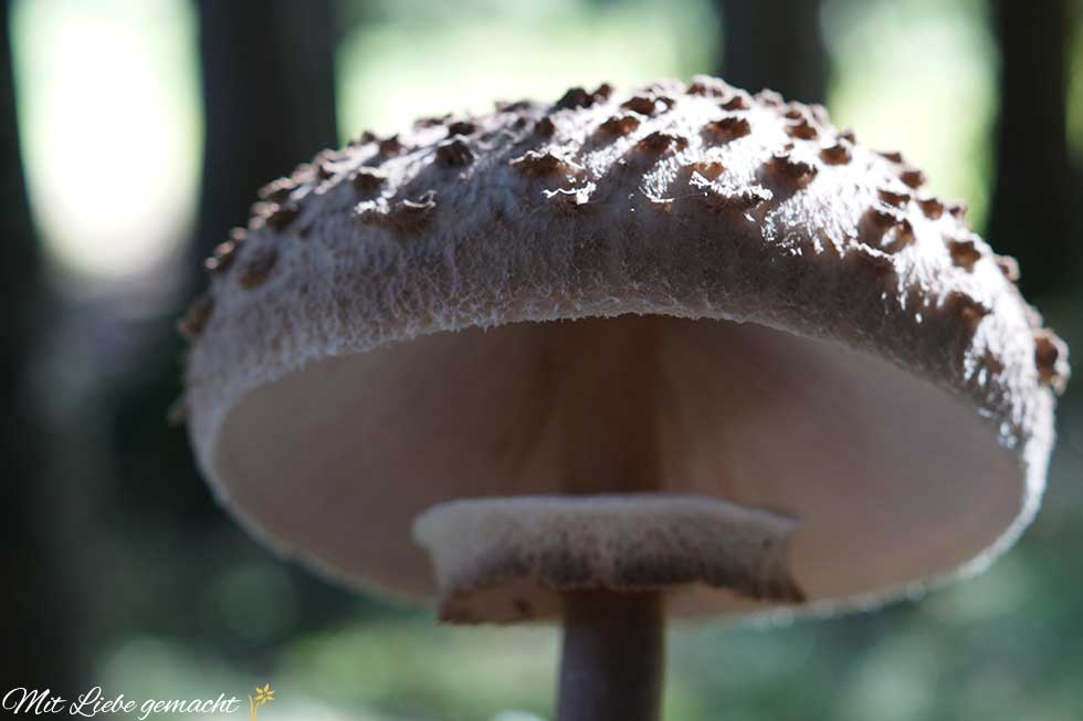 Parasolpilz - Genuss aus dem Wald