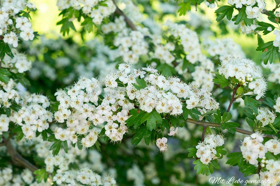 schöne Weißdornblüten