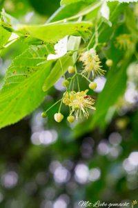 duftende Lindenblüten