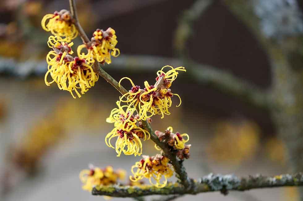 Hamamelis Blüten im Winter; Quelle: Pixabay
