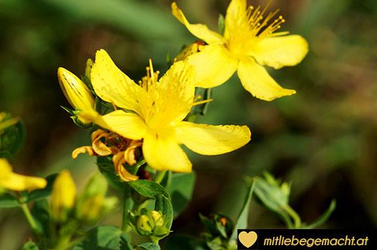 Johanniskrautblüte - Kosmetik aus heimischen Kräutern und Pflanzen