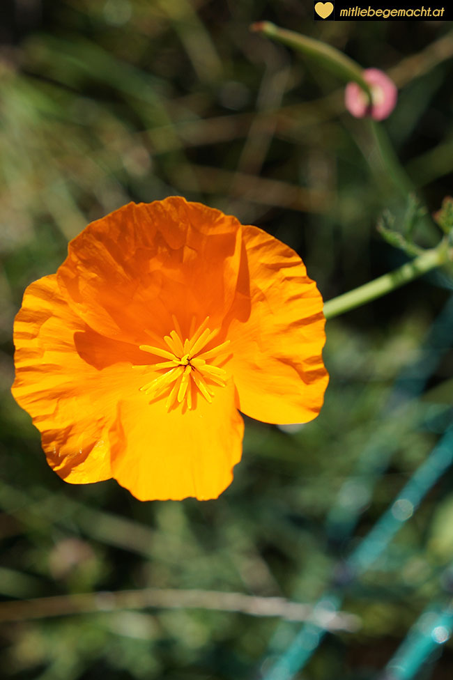 Orange Mohnblume
