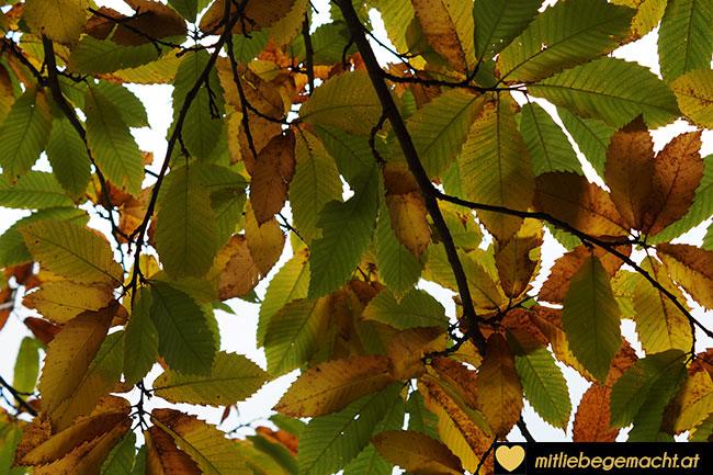 Blätter des Edelkastanienbaums