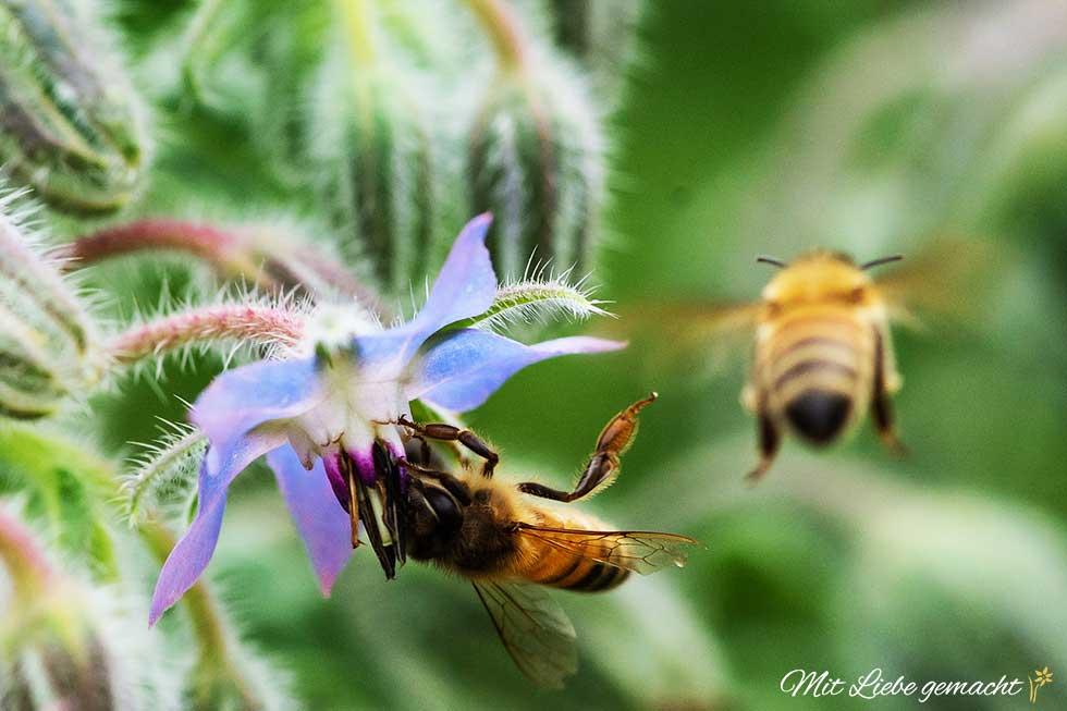 Bienen lieben den Borretsch