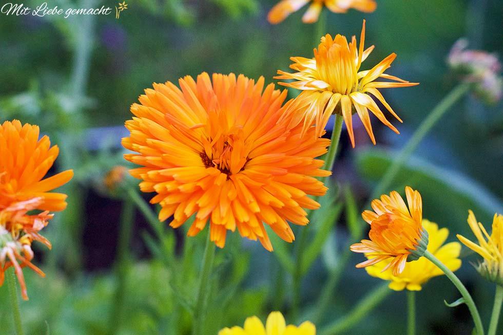 Orange Ringelblumen auf grünem Hintergrund; Ringelblume wirkt sehr wundheilend und wird für Kosmetik verwendet