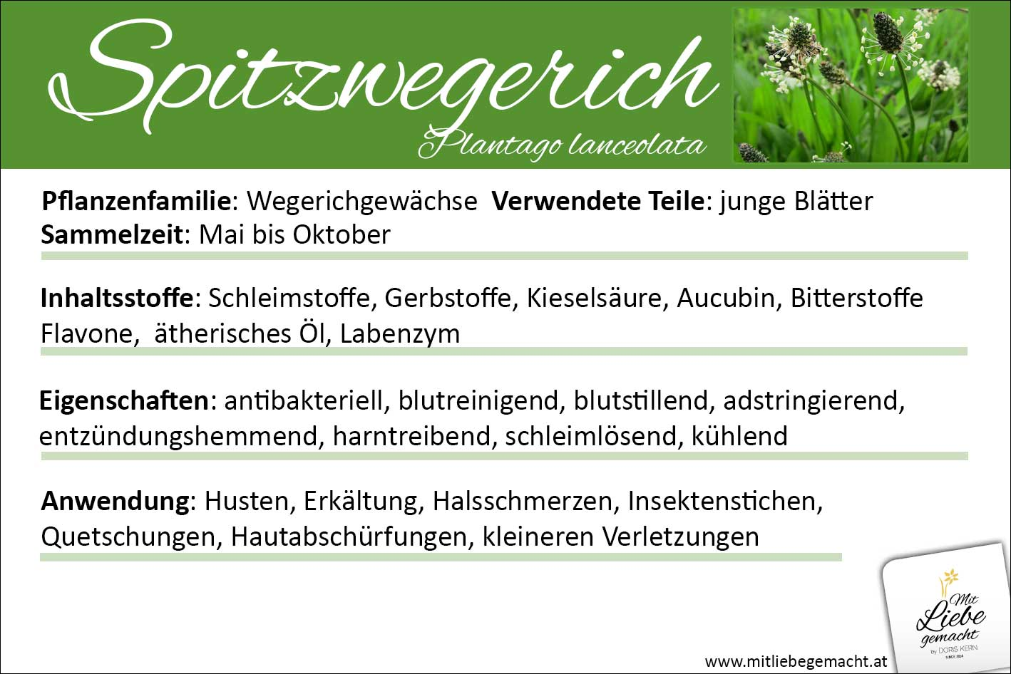 Spitzwegerich Lernkarte Kräuterwissen