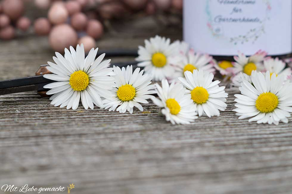 Gänseblümchen für ein Mazerat