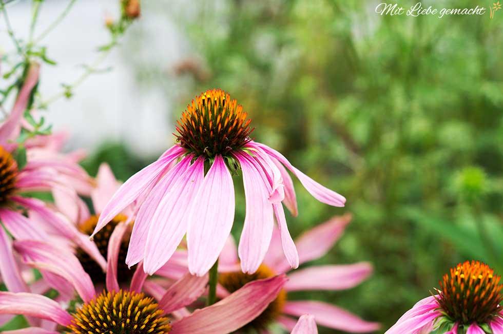 Echinacea oder roter Sonnenhut