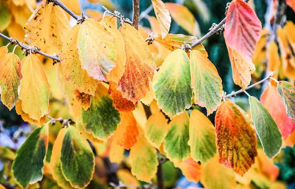 Hamamelis Blätter im Herbst; Quelle Pixabay