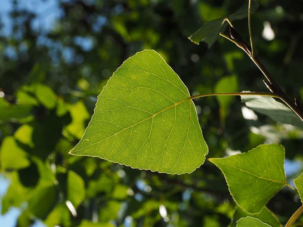 Pappel Blätter