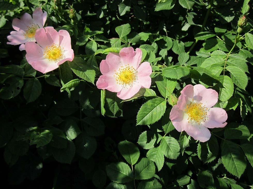 Wildrose - Rosa canina