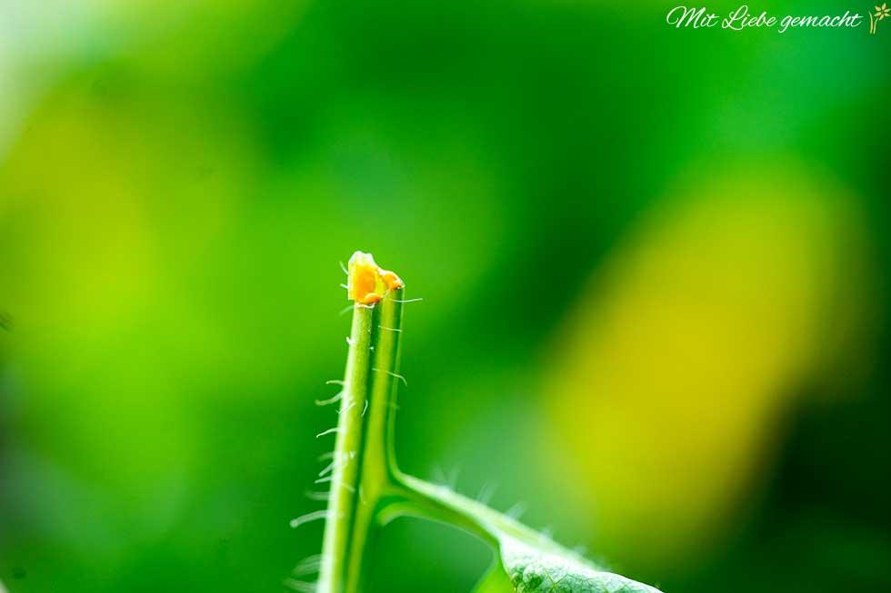 gelber Pflanzensaft des Schöllkrauts