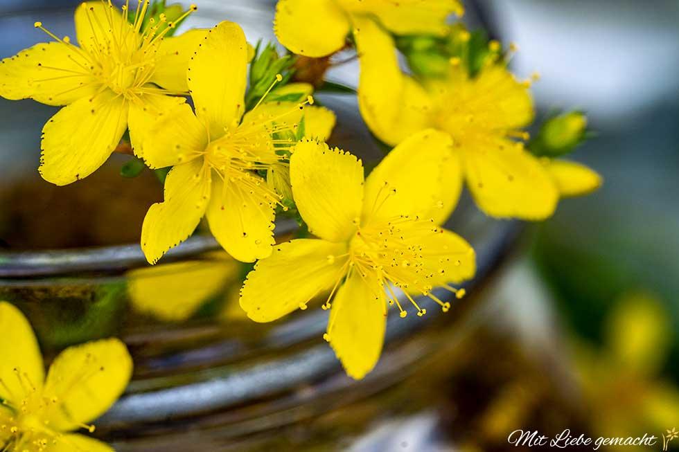 strahlende Johanniskrautblüten